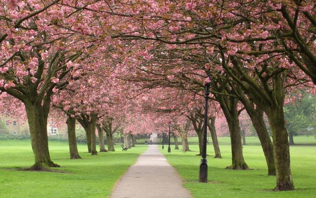 'Sakura' betekent kersenbloesem